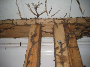 termite tubing on wood framing-resized-600